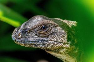 cabeza de iguana foto