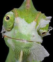Chameleon shedding his skin