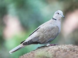 dove on rock photo