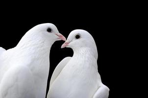 Valentine's day pigeons photo