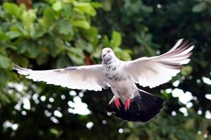 Flying pigeon photo