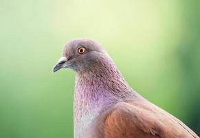 Pigeon looks at you with a blurred background photo