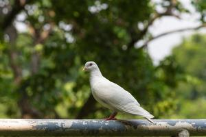 The white pigeon standing on the pole