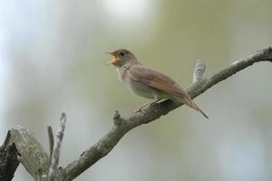 Singing nightingale on dry branch