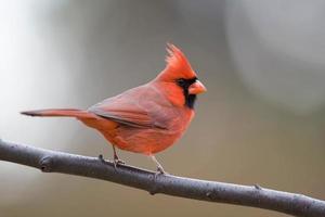 cardenal del norte foto
