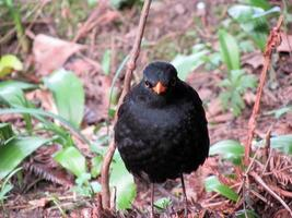 True thrush or common blackbird