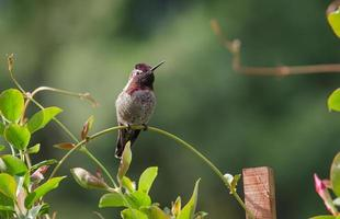 colibrí sentado foto