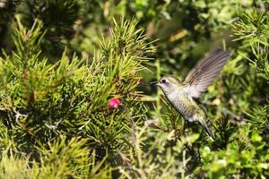 colibrí de anna