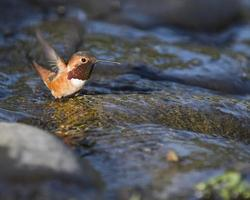 Bathing Hummingbird photo