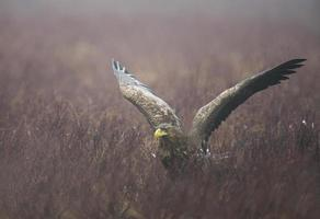 White-tailed eagle photo