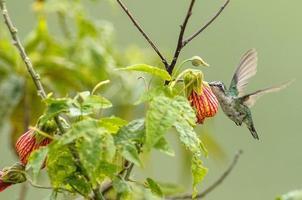 pequeño colibrí, comiendo flores foto