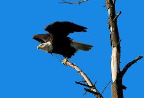 águia pronta para decolar