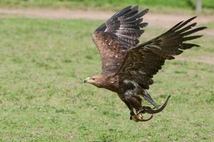 Golden eagle in a falconry exhibition
