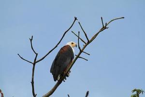 águila pescadora africana foto