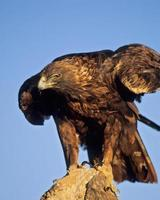 Bird-Golden eagle on rock.
