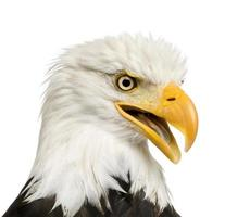 águila calva (22 años) - haliaeetus leucocephalus foto