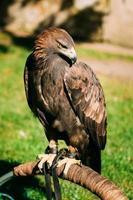 sentado águila real haliaeetus albicilla. Ave silvestre foto