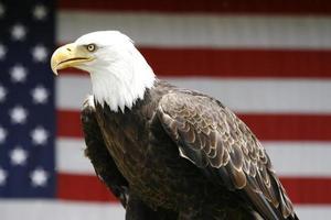 águila con bandera americana foto