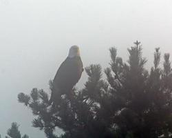águila calva en la niebla foto