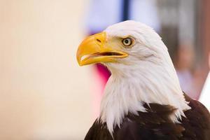 Bald eagle left portrait