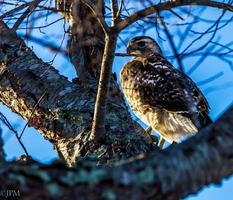 Red tail Hawk