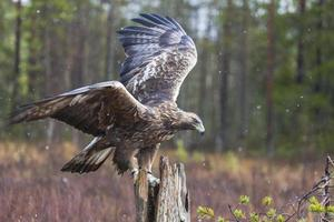 Golden eagles, Aquila chrysaetos photo