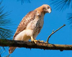 Red-tailed Hawk in Pine Tree
