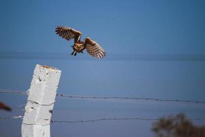 ataque de halcón