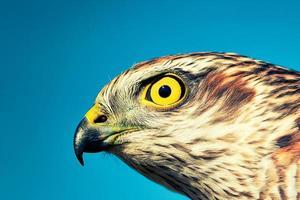 Sparrow-hawk
