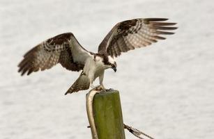 falcão após a caça