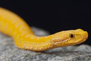 Asp viper, albino / Vipera aspis photo