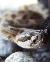 serpiente de cascabel foto