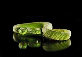 Attacking green viper photo