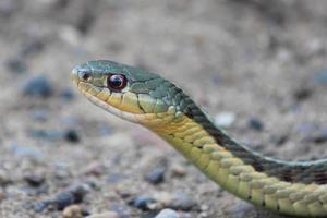 serpiente de Gardner alerta foto