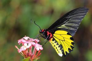 mariposa dorada volando foto