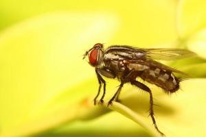 pequeño insecto mosca foto