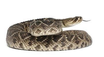 serpiente de cascabel de diamondback del este - crotalus adamanteus, venenoso, fondo blanco foto