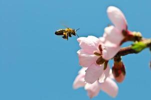 Flying honey bee photo
