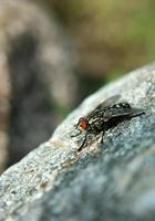 mosca doméstica