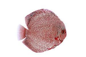 Discus fish red snake skin illustration photo