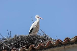 White stork, Ciconia ciconia photo