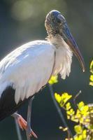 Wood Stork photo