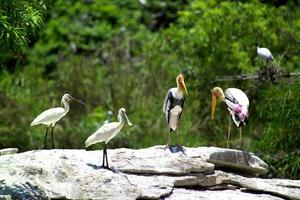 Spoonbills and Painted storks photo