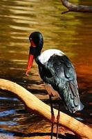 saddlebill stork foto