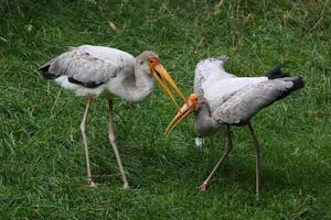 Yellow-billed storks photo