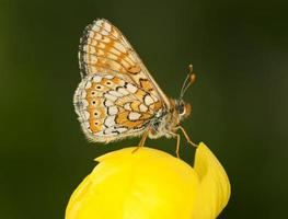 Marsh Fritillary, Euphydryas aurinia sitting on leaf, macro photo