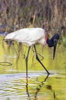 Wading jabiru Stork photo