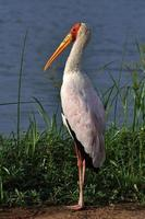 Yellow Billed Stork photo