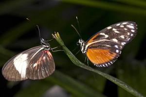 par de mariposas foto