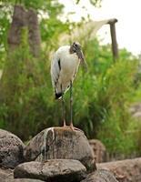Wood stork standing